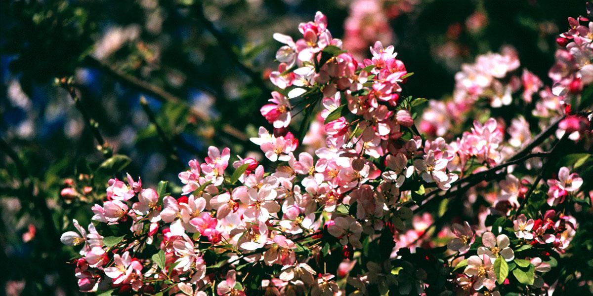 Kirschblüte auf dem Hafkamp